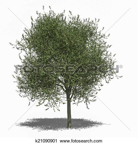 Tilia clipart #13, Download drawings