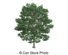 Tilia clipart #12, Download drawings