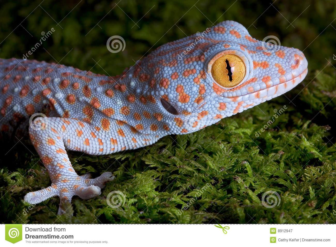 Tokay Gecko clipart #9, Download drawings