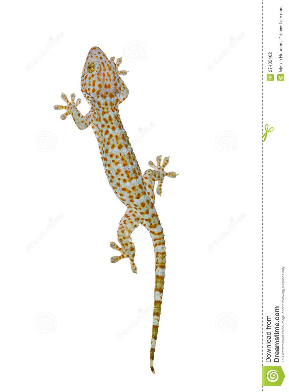 Tokay Gecko clipart #14, Download drawings