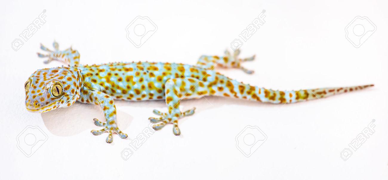 Tokay Gecko clipart #3, Download drawings
