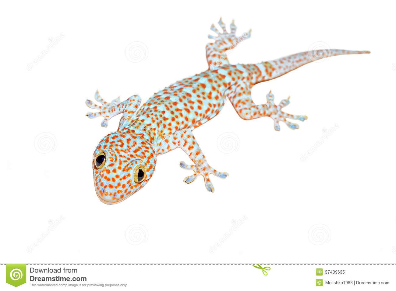 Tokay Gecko clipart #19, Download drawings