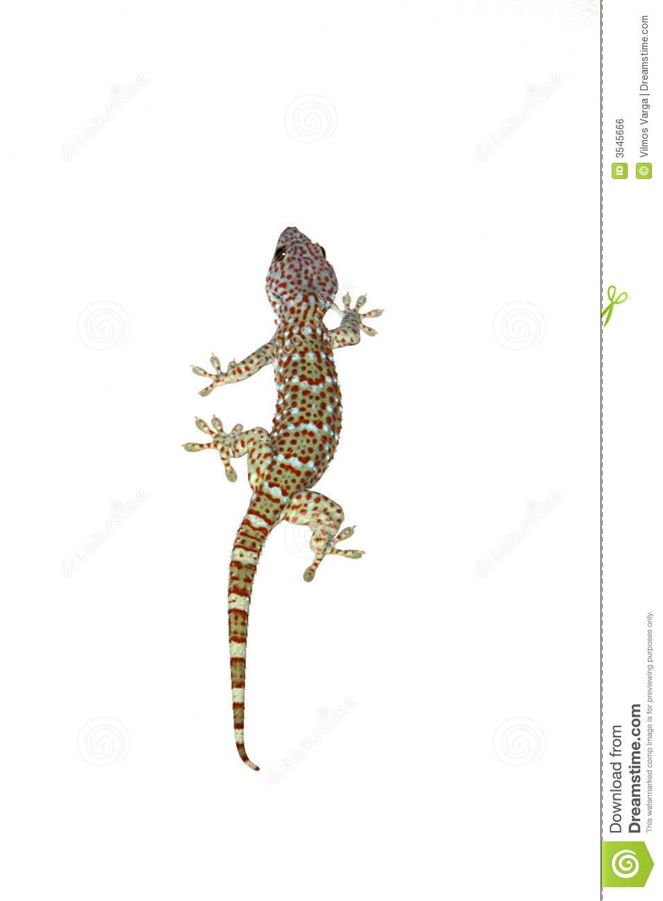 Tokay Gecko clipart #13, Download drawings