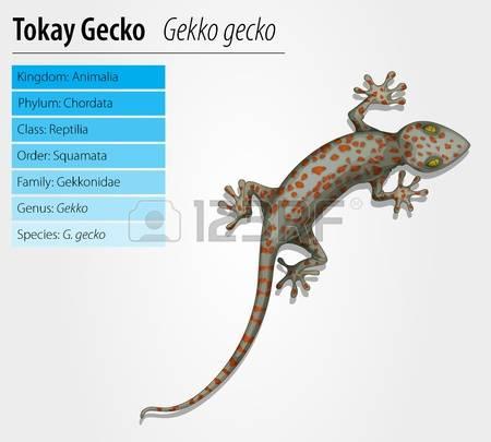 Tokay Gecko clipart #16, Download drawings