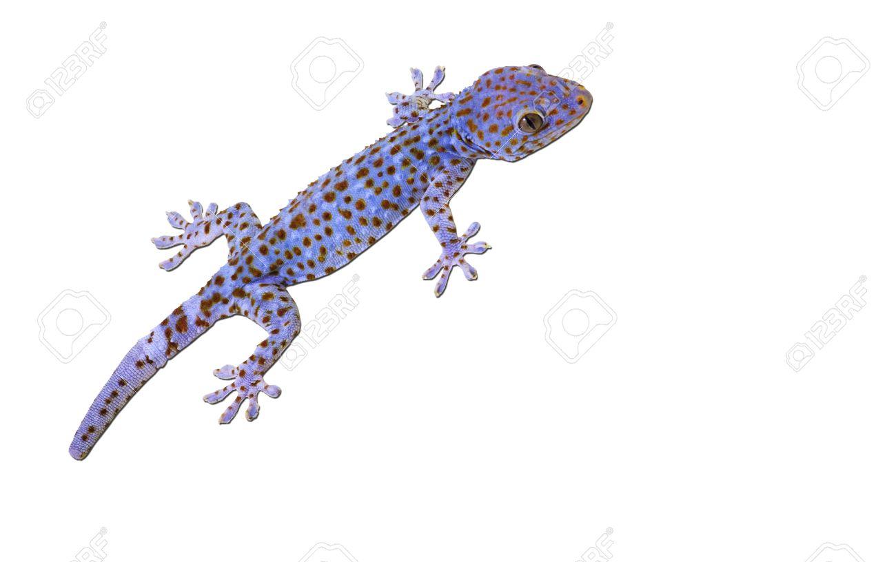 Tokay Gecko clipart #12, Download drawings