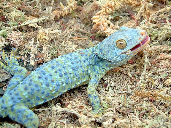 Tokay Gecko coloring #16, Download drawings
