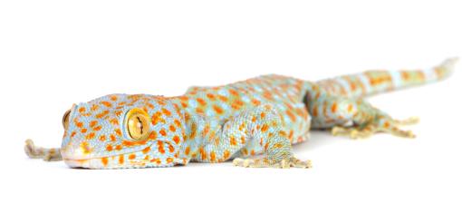 Tokay Gecko coloring #9, Download drawings