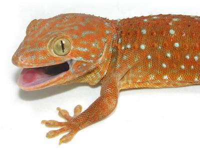 Tokay Gecko coloring #14, Download drawings