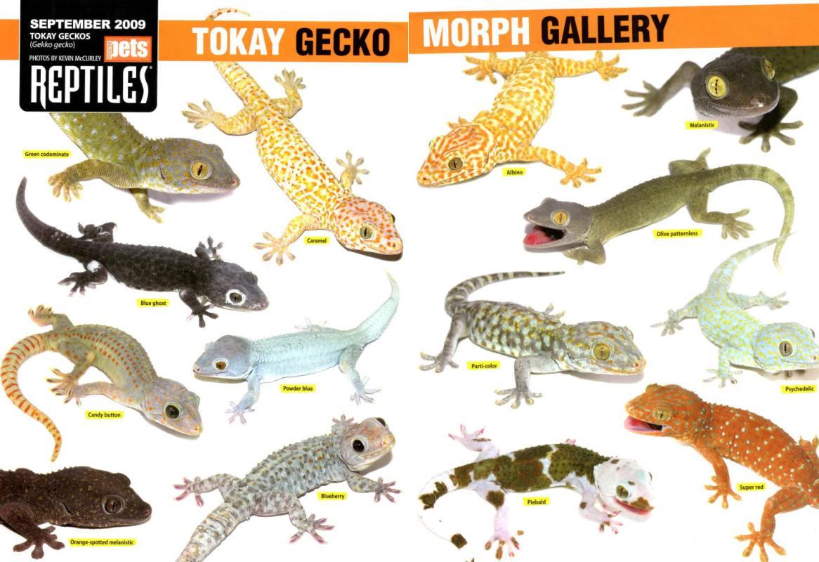 Tokay Gecko coloring #4, Download drawings