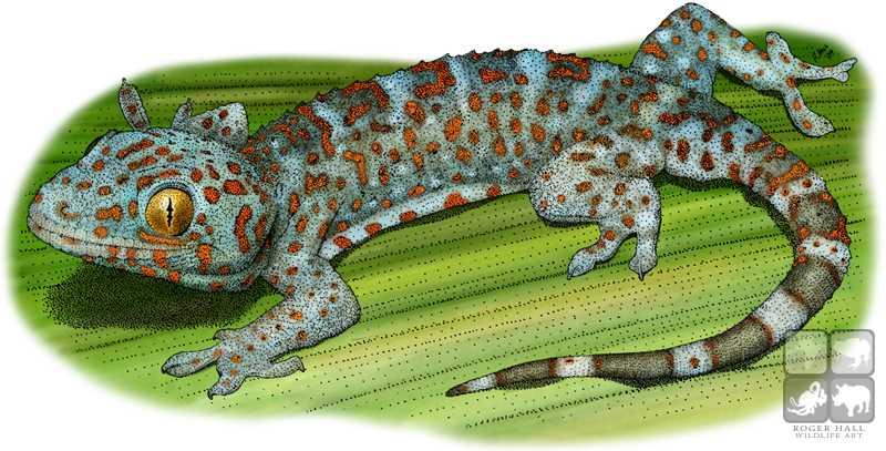 Tokay Gecko coloring #20, Download drawings