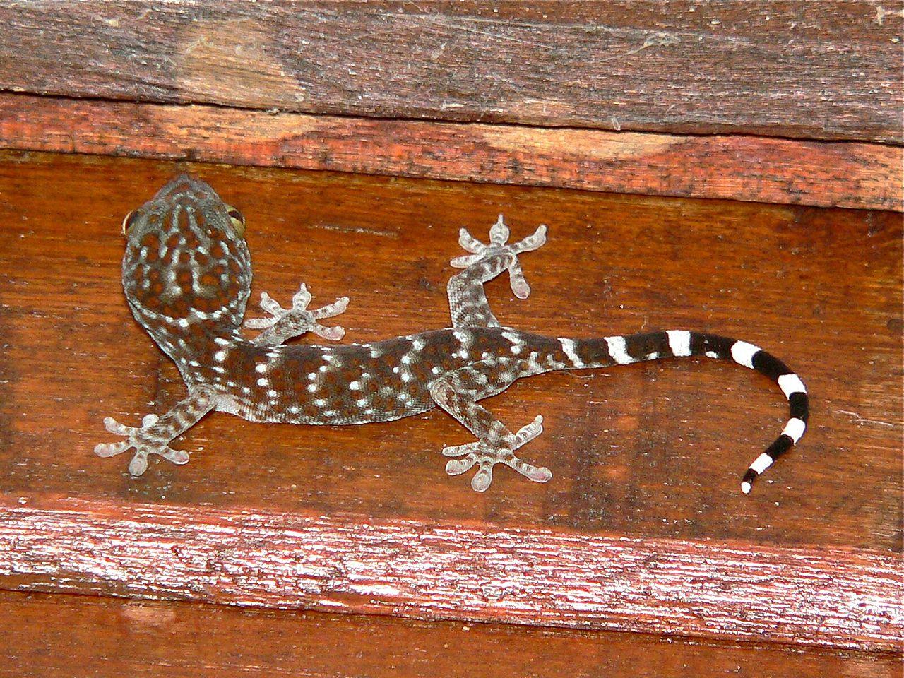 Tokay Gecko svg #6, Download drawings