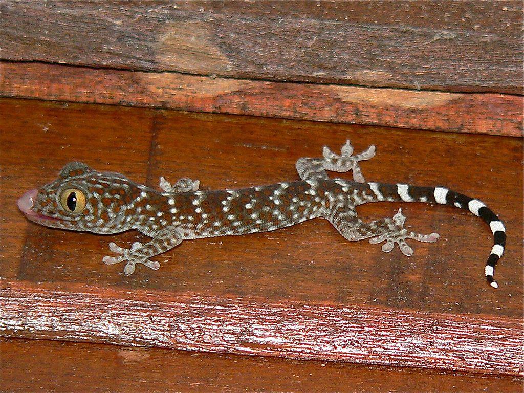 Tokay Gecko svg #5, Download drawings