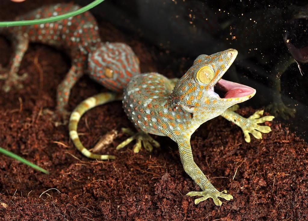 Tokay Gecko svg #10, Download drawings
