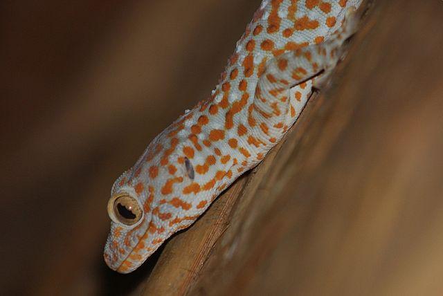 Tokay Gecko svg #2, Download drawings