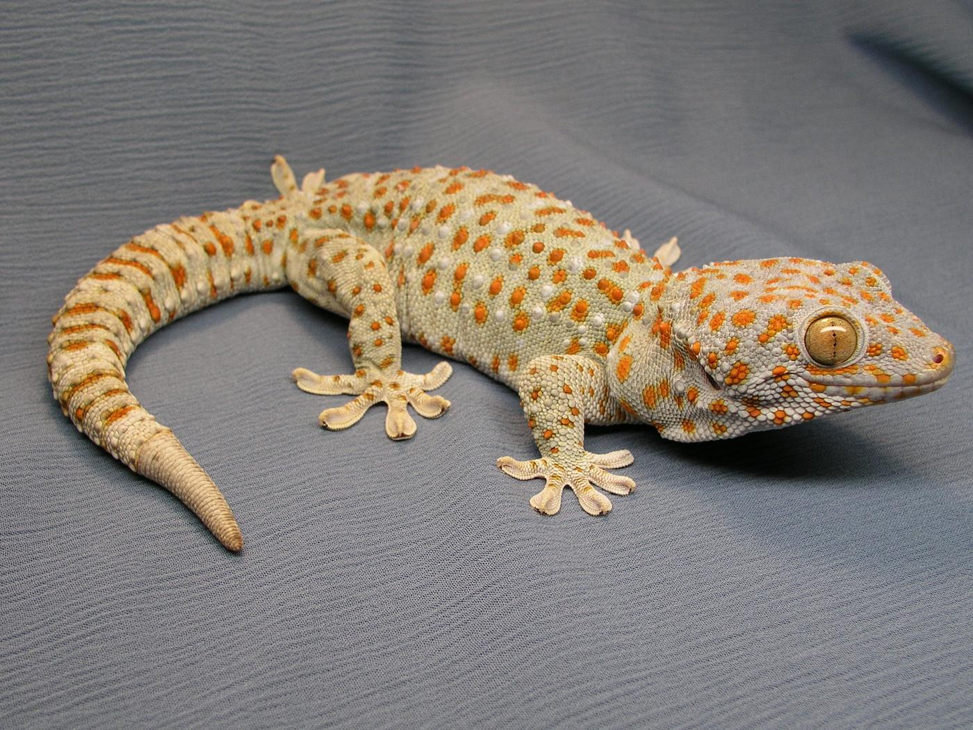 Tokay Gecko svg #15, Download drawings