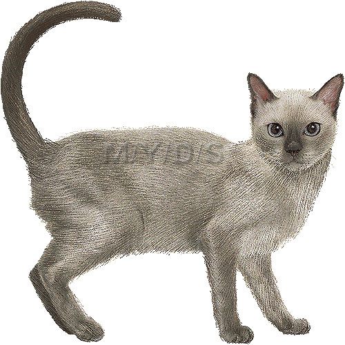 Tonkinese clipart #1, Download drawings