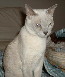 Tonkinese clipart #8, Download drawings