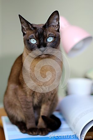 Tonkinese clipart #9, Download drawings