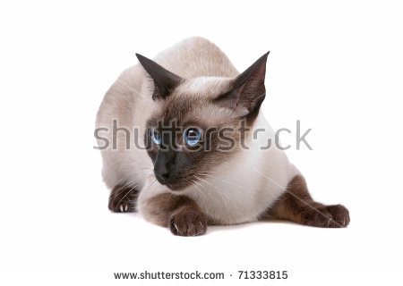 Tonkinese clipart #3, Download drawings