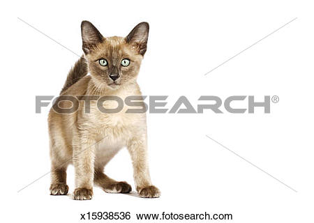 Tonkinese clipart #19, Download drawings