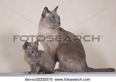 Tonkinese clipart #20, Download drawings