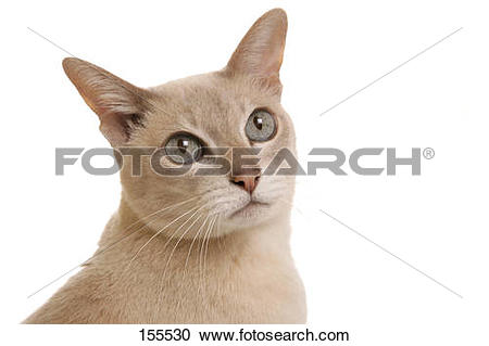 Tonkinese clipart #17, Download drawings