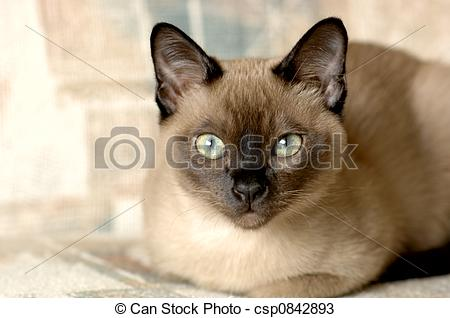 Tonkinese clipart #12, Download drawings