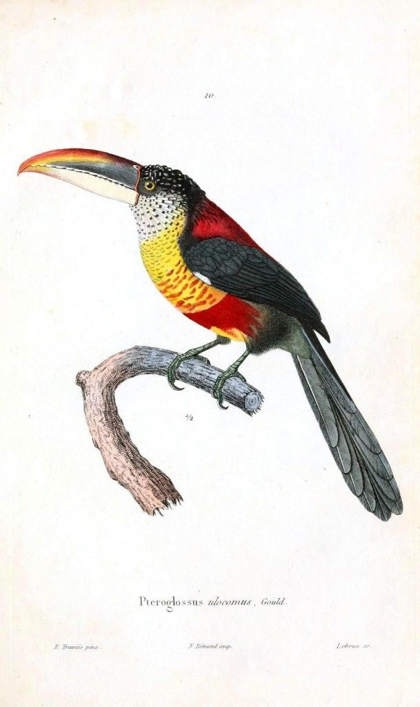 Toucanet svg #13, Download drawings