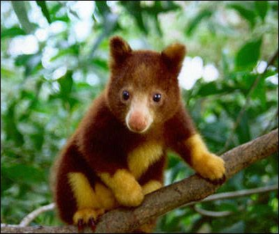 Tree Kangaroo clipart #20, Download drawings