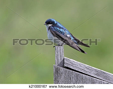 Tree Swallow clipart #11, Download drawings