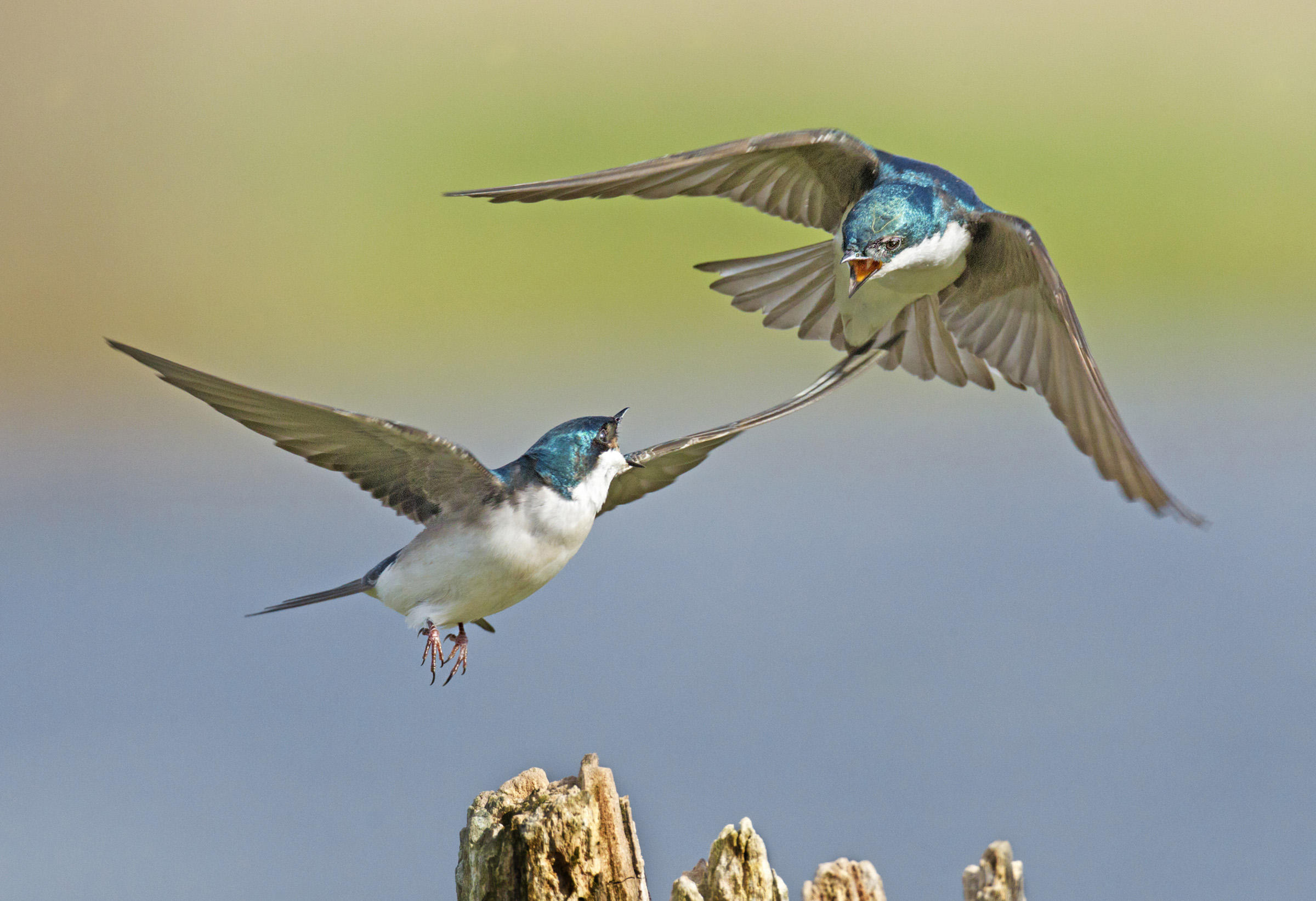 Tree Swallow clipart #1, Download drawings