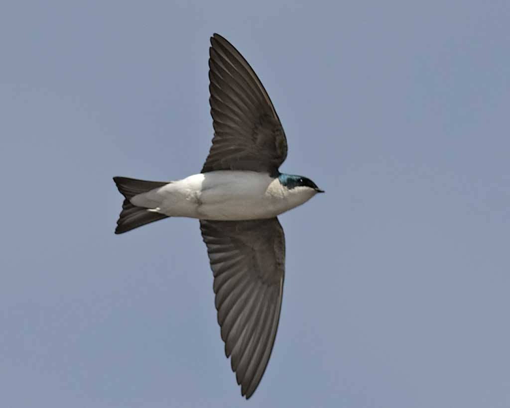 Tree Swallow clipart #4, Download drawings