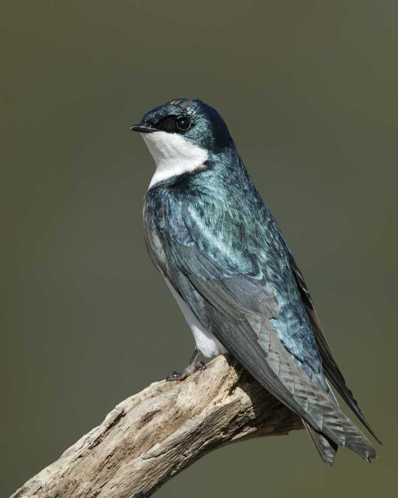 Tree Swallow clipart #3, Download drawings
