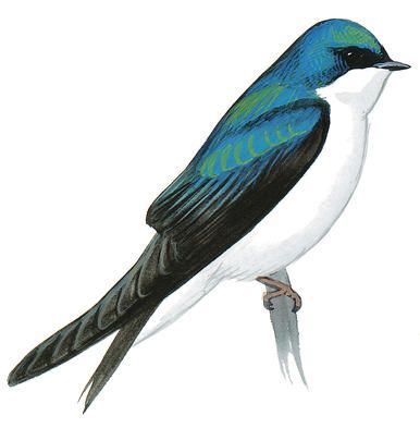 Tree Swallow clipart #12, Download drawings