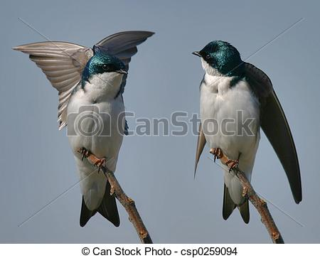 Tree Swallow clipart #16, Download drawings
