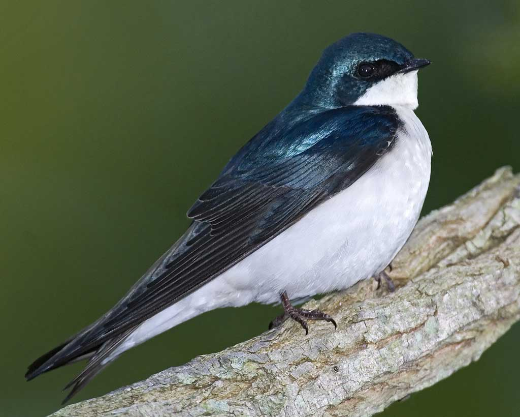 Tree Swallow clipart #17, Download drawings