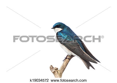 Tree Swallow clipart #13, Download drawings