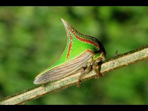 Treehopper svg #12, Download drawings