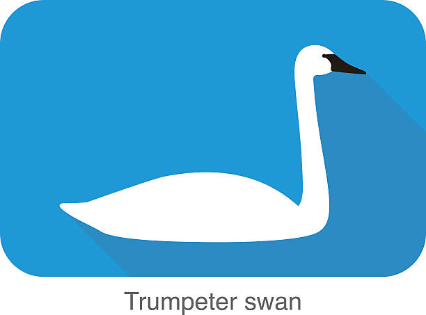 Trumpeter Swan clipart #17, Download drawings