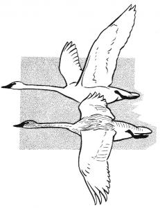 Trumpeter Swan svg #4, Download drawings