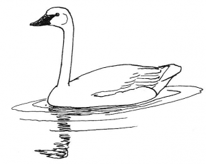 Whooper Swan clipart #15, Download drawings