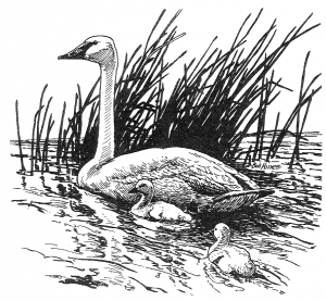 Trumpeter Swan clipart #4, Download drawings