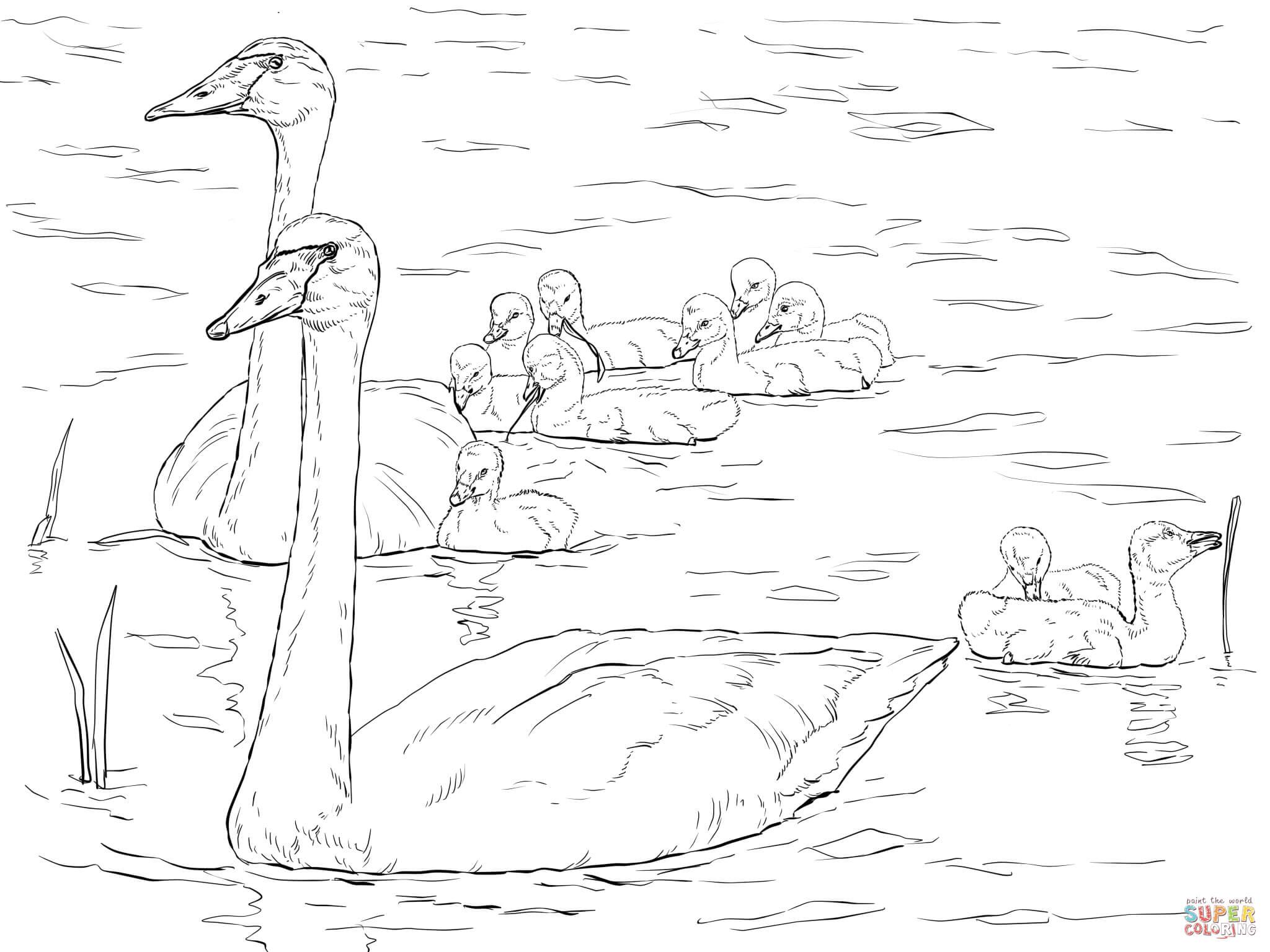 Whooper Swan coloring #8, Download drawings