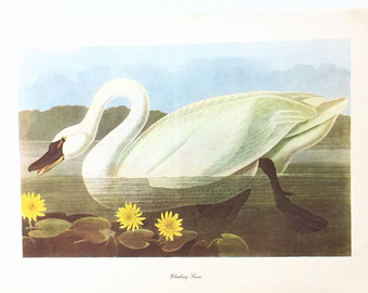 Trumpeter Swan svg #6, Download drawings