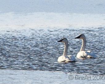 Trumpeter Swan svg #8, Download drawings