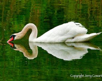 Trumpeter Swan svg #7, Download drawings