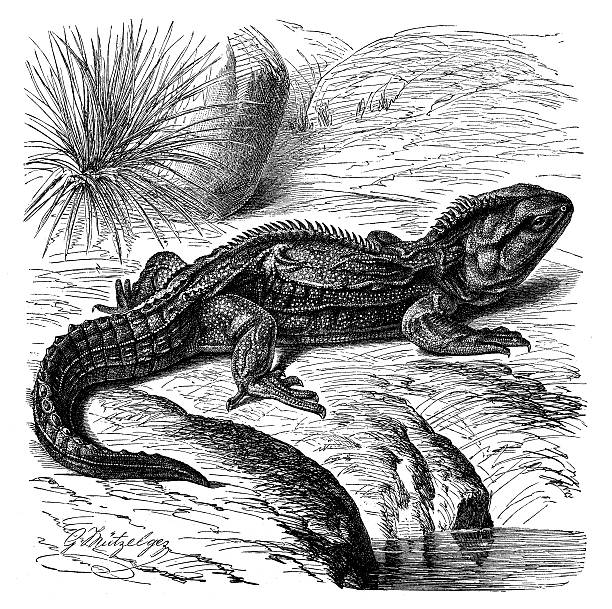 Tuatara clipart #11, Download drawings
