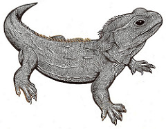 Tuatara clipart #18, Download drawings