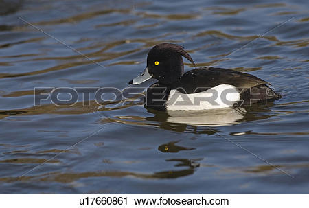 Tufted Duck clipart #9, Download drawings