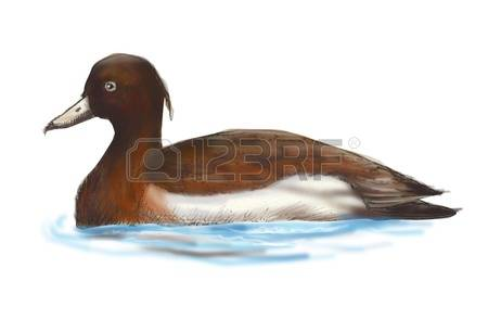 Tufted Duck clipart #14, Download drawings